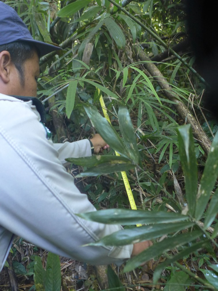 Measuring Rattan Growth