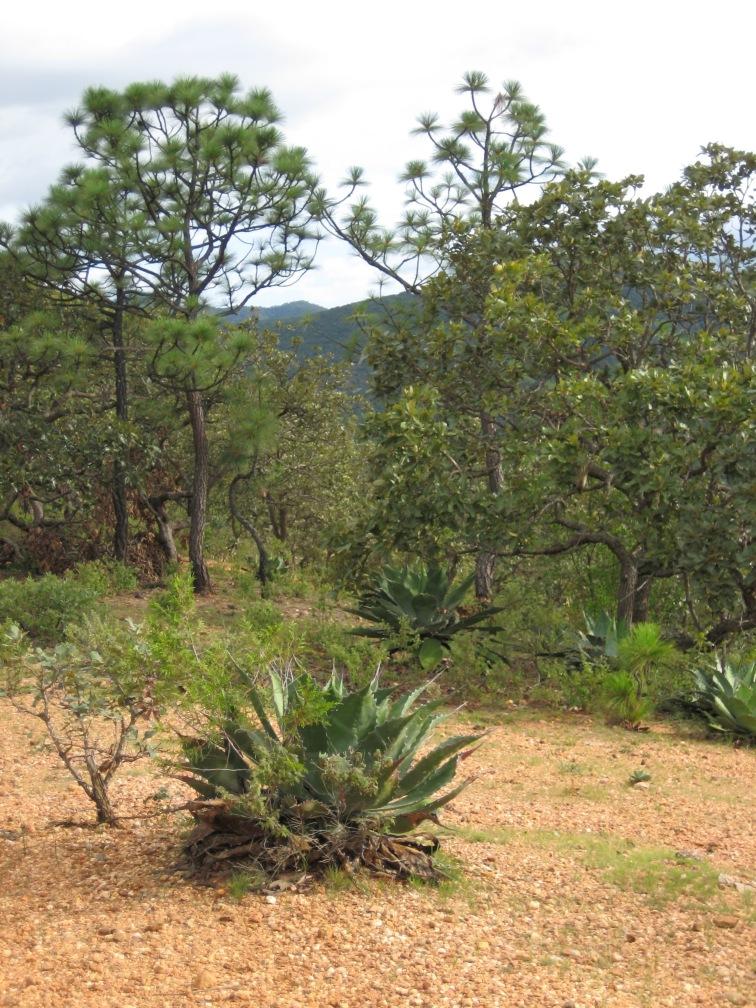 agave cupreata
