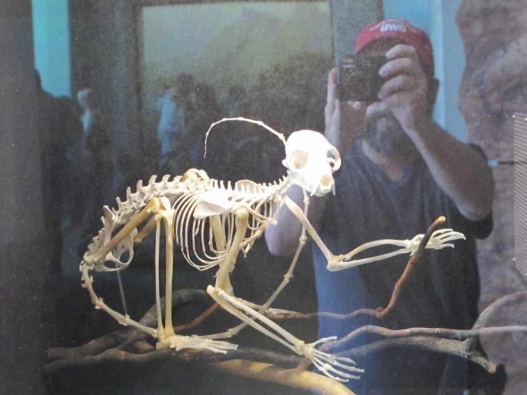 lemur skeleton